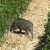 Poggiofiorito (Chieti) - un cinghiale attacca le coltivazioni di pinot nero